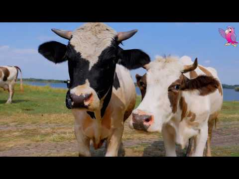 , title : 'COW VIDEO | COWS MOOING | COMPILATION