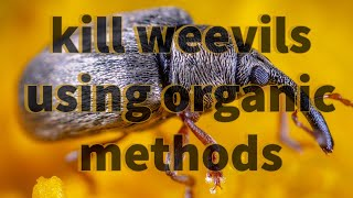 How to kill weevils without use of chemicals