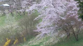 スイス発 2017ベルンばら公園ソメイヨシノ桜3月26日【スイス情報.com】