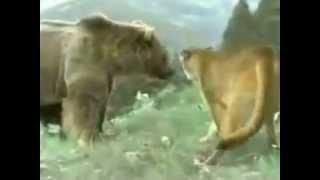 地上最強生物決定戦クマVSライオン Bear vs Lion