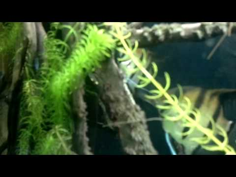 Deposizione uova Pterophyllum scalare
