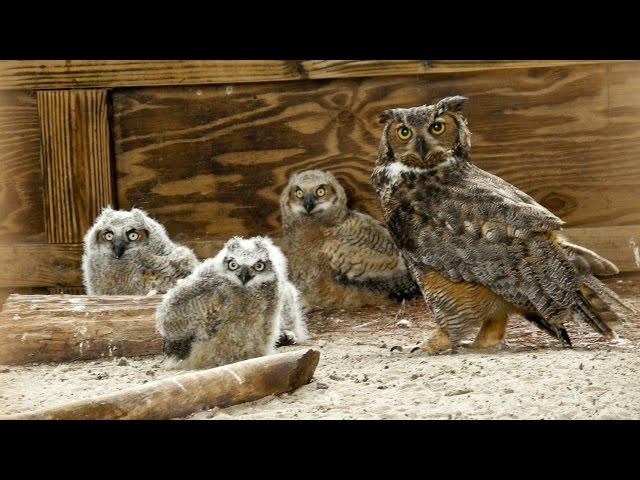Video Pronunciation of owl in English