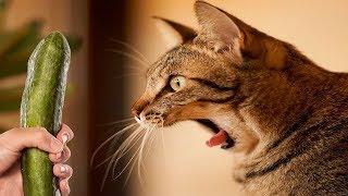 「かわいい猫」 笑わないようにしようとしてください - 最も面白い猫の映画 #223