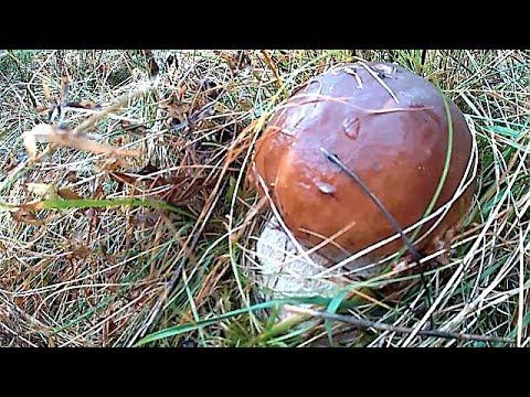 Білі Гриби в Карпатах і Підпеньки / Mushrooms in the Carpathians