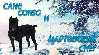 Прогулка по мартовскому снегу собаки Кане Корсо Деррека. #canecorso