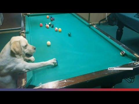 Кинолог из Якутска научил свою собаку играть в бильярд