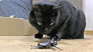 Kuro Meets A Beetle For The First Time / 初めてカブトムシを見たクロさん 20160624 Cat 猫 Japanese Rhinoceros Beetle
