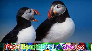 PUFFIN SEA BIRD DETAILS      PUFFIN DENİZ KUŞU     Тупик морская птица   FOR EDUCATION AK BIDIWALA