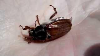 Майский жук или хрущ. Борьба с прожорливым вредителем