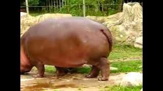 HIPPO HAS EXPLODING POO