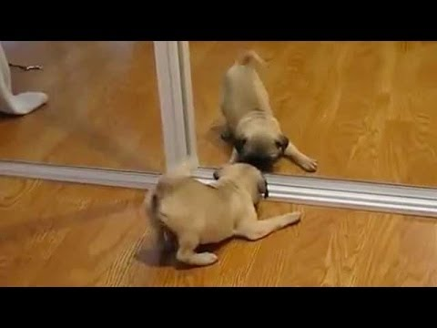 Funny Dogs – Puppies Vs Mirror Compilation!