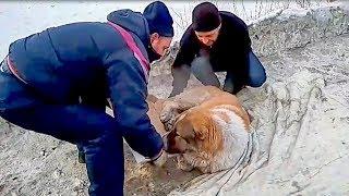 Алабаи нынче валяются на дорогах никому не нужные Породистые тоже плачут  salvation of a sick dog