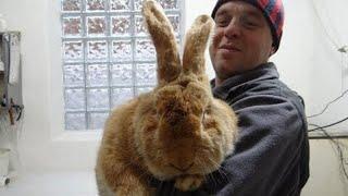 Какого веса достигают кролики ризен, фландр. Самая крупная порода кроликов в мире