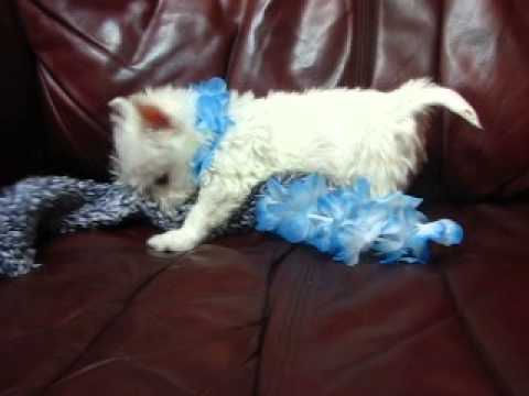 Blue Lei Boy is a very playful, healthy, and quite a beautiful Westie Boy