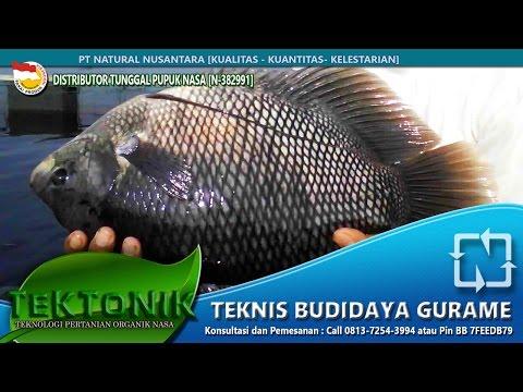 Video Rahasia Budidaya Ikan Gurame Cepat panen dengan intensiv - Vitamin ternak gurame bag1