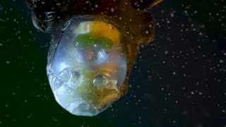 Barreleye Fish with see-through skull