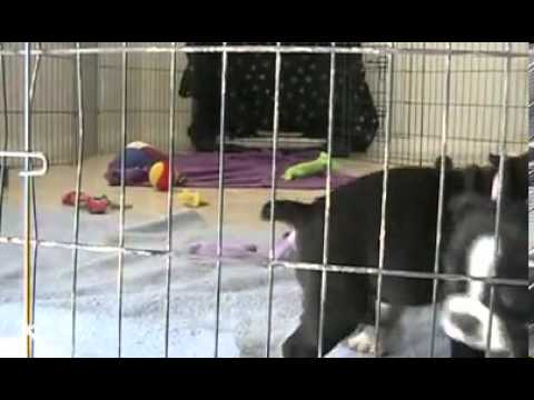 RARE Olde English Bulldogge Luna