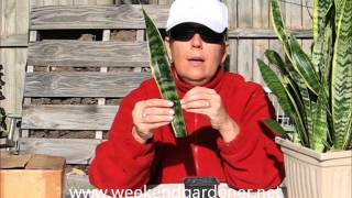 How to Propagate a Mother In Laws Tongue or Snake Plant through Leaf Cuttings