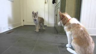 Baby Wolf Meets Border Collie Pup: The Telltale Tail