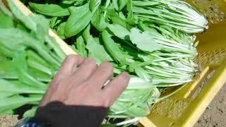 「今日もあなたと百姓一揆!」~旬の有機野菜収穫編@みぶな収穫