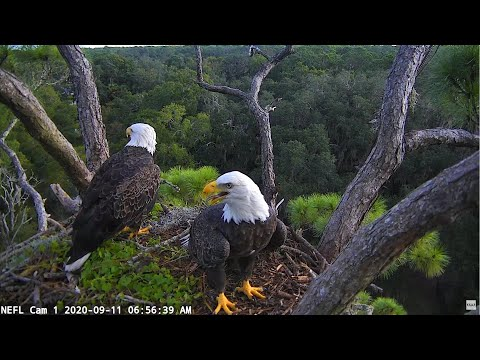 The Eagle Season Begins! - NEFL Cam 1