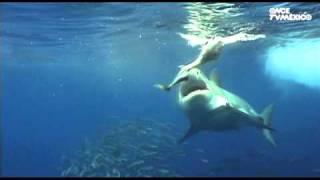 Nuestros Mares - Tiburón blanco