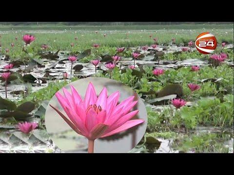 শাপলা শুধু সৌন্দর্যই নয়, এখন রুটি-রুজির অংশ