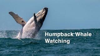 Humpback Whale Watching   Boston