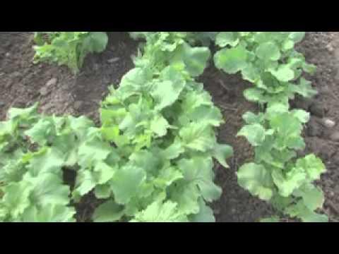 Désherbage mécanique des cultures légumières