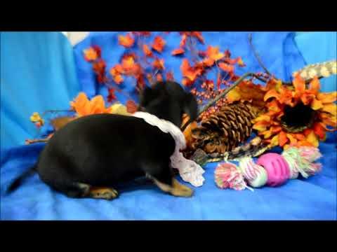 Abby Black Tan Female Miniature Dachshund Puppy for sale.