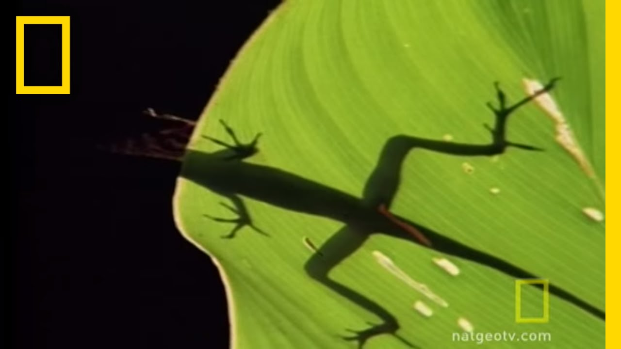 Anolis Lizard Love | National Geographic thumbnail