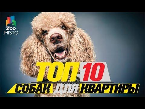 Топ 10 собак для квартиры\Top dogs for the apartment