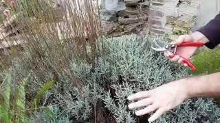 How do I prune Lavender