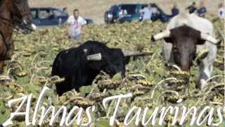 preview picture of video 'encierro por el campo Horche 13 10 2012'