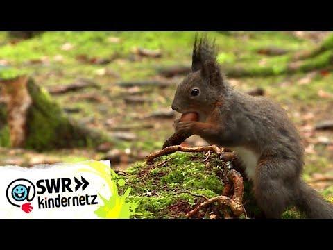 Was fressen Eichhörnchen? | OLI's Wilde Welt | SWR Kindernetz