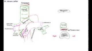 Relations at the superior mediastinum, simplified sketches