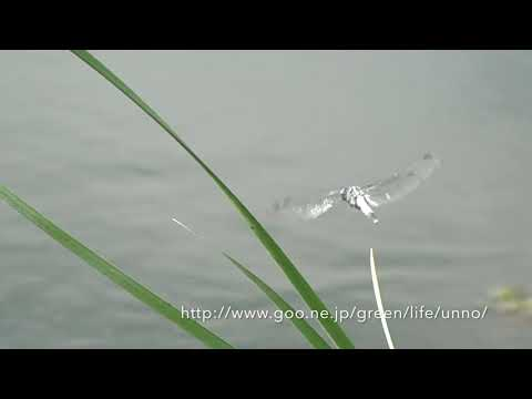 溜め池のトンボ。ウシガエルがギンヤンマを狙う。