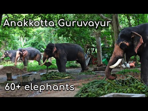 Punnathur Kotta Elephant Camp Guruvayur Devaswom Anakkotta Elephant Kotta Thrissur Tourism Kerala