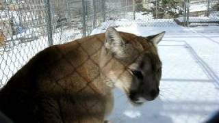 Cougar meows, purrs, says hi