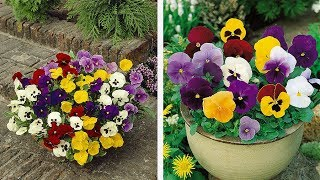 How to Plant Universal Pansies: Winter/Spring Guide