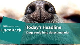 Dogs could help detect malaria: Lingohack