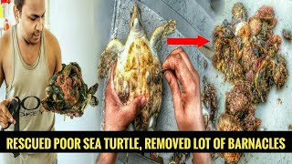 Rescued Third Poor Baby Sea Turtle Removing Barnacles, Oddly Satisfying #YOMADeeK #YMDK