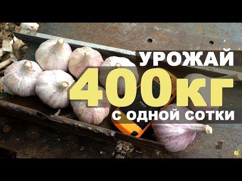 Урожайность чеснока - 400 кг с одной сотки!