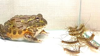 WARNING LIVE FEEDING!! African bullfrog vs A large amount of  house centipede. Pocohead like legs.