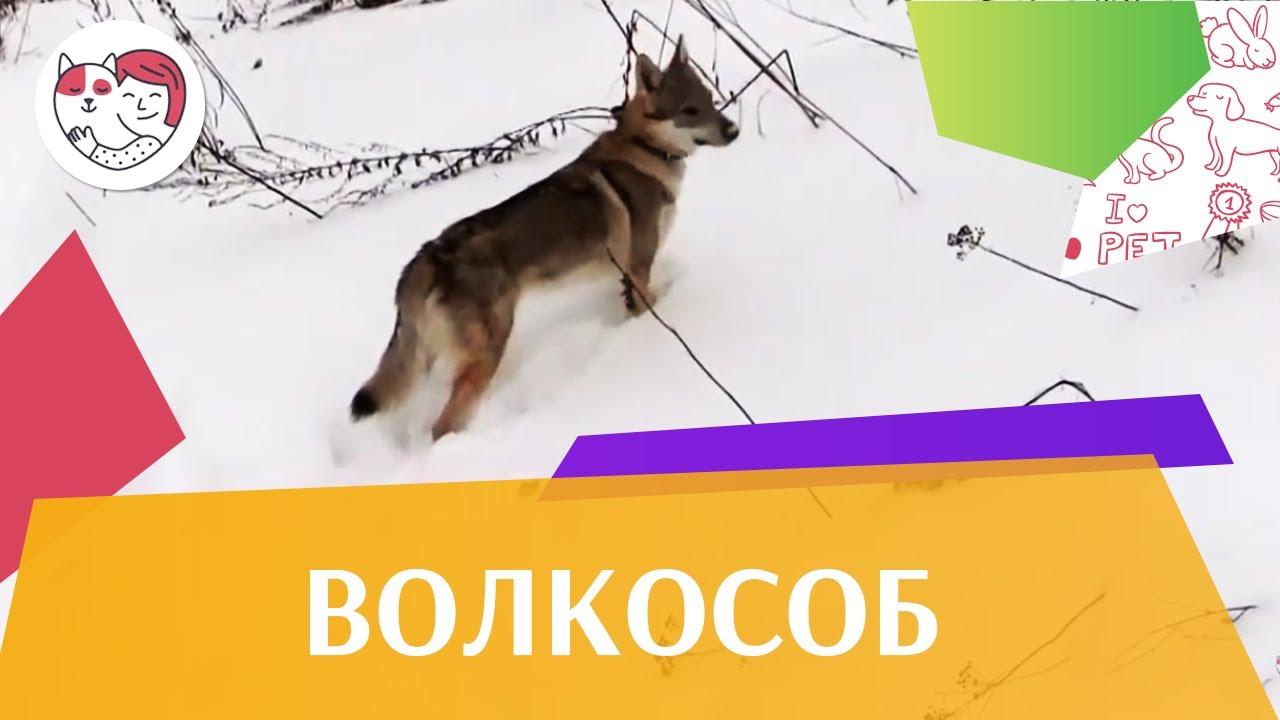 Чехословацкая волчья собака  Волчак ч 3 на ilikepet