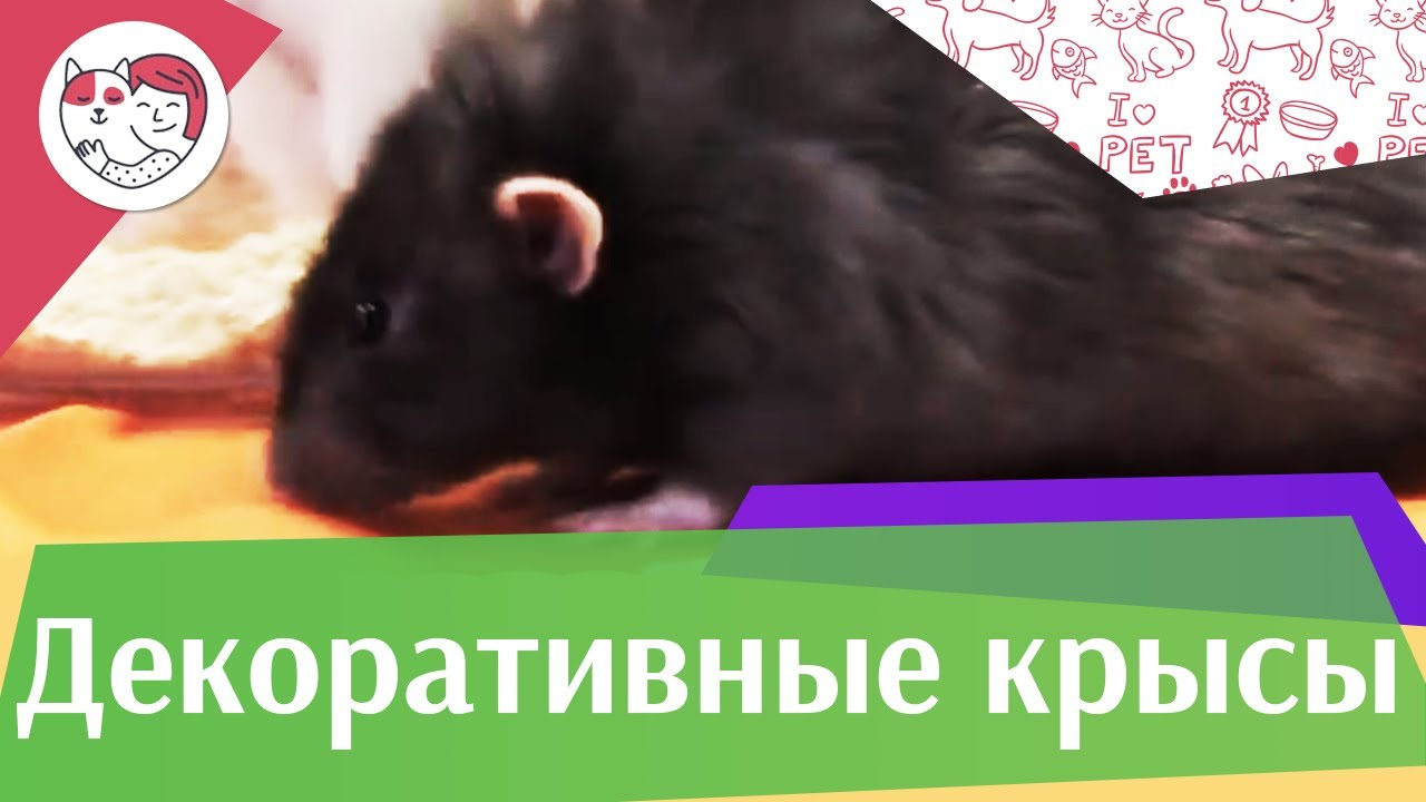 Декоративные крысы Разведение и общение на ilikepet