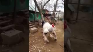 Biggest White Cock.