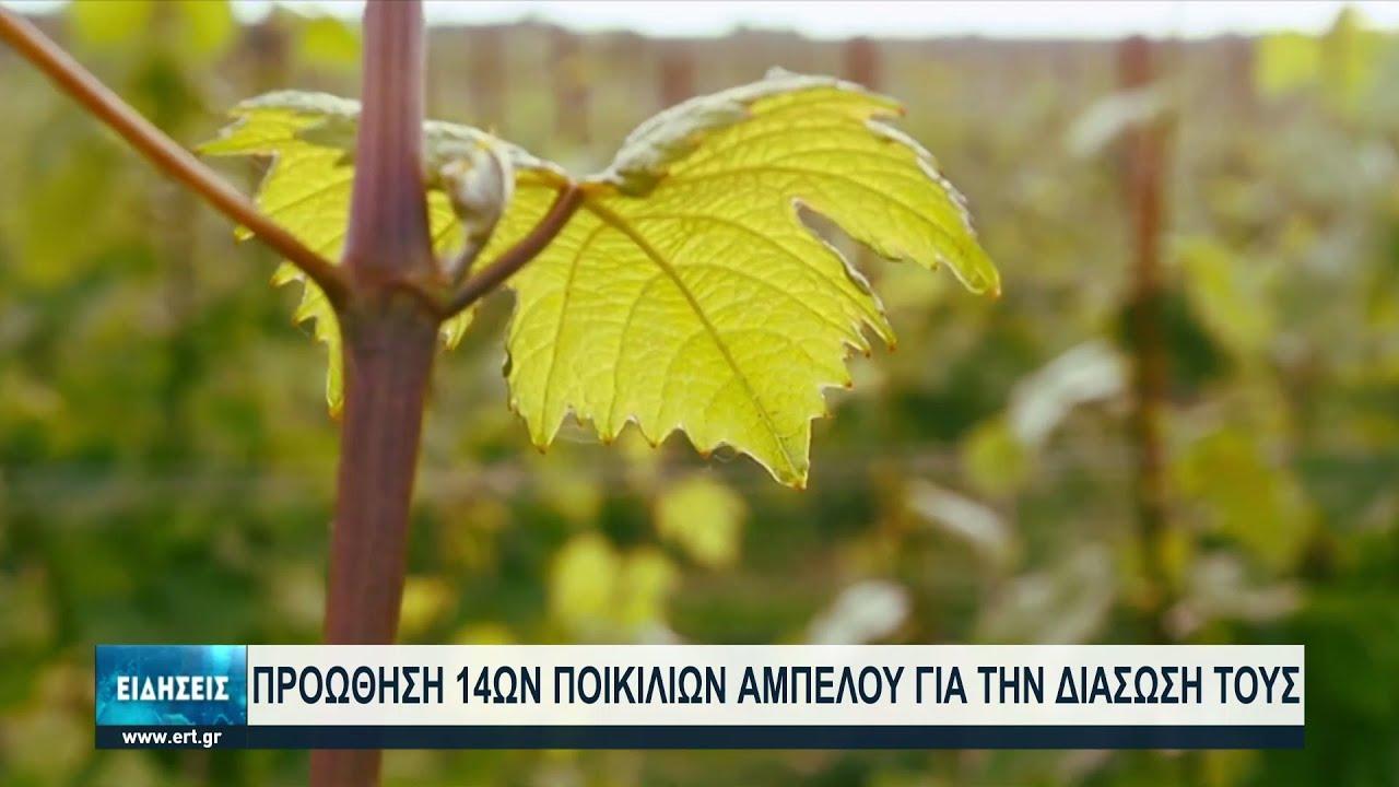 Προωθούνται τοπικές ποικιλίες κρασιού στους καλλιεργητές της βόρειας Ελλάδας | 12/07/2021 | ΕΡΤ