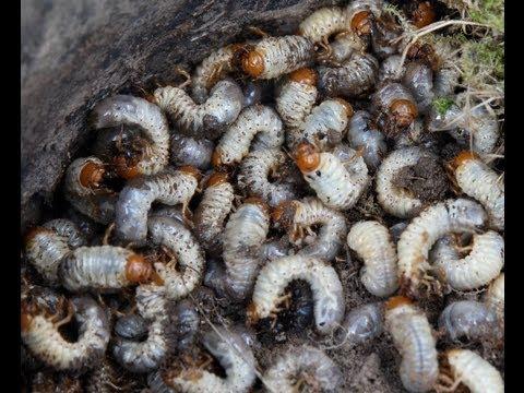 Die Wege der Durchdringung des Parasiten in den Organismus
