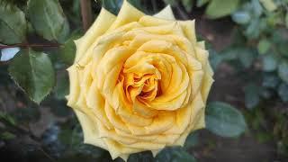 Обзор роз. Тема та же:Какая роза долго держит цветок?